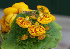 Calceolaria (I). Calceolaria, Capachito, booties Venus, topa-topa or shoes of the Virgin. Flowering plant native to South America (and purchased today in the Royalty Free Stock Images