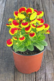 Calceolaria Lady`s Purse Flower - Calceolariaceae Family Royalty Free Stock Photography