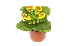 Calceolaria plant in a pot. Flowering Calceolaria, Lady`s purse, plant in a pot isolated against white Stock Images