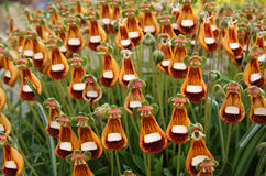 Calceolaria (Walter Shrimpton) Stock Photos