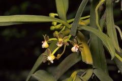 Calceolaris di Gastrochilus, specie di orchidee Villaggio di Durgapur immagini stock libere da diritti
