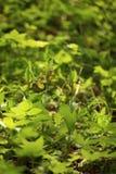 calceolus杓兰花鹿皮鞋工厂木材 这朵兰花在大约100个现场的捷克被找到 免版税库存照片