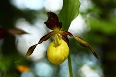 calceolus杓兰花鹿皮鞋工厂木材 这朵兰花在大约100个现场的捷克被找到 免版税库存图片