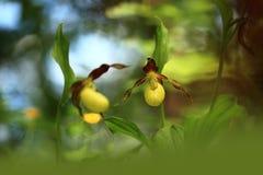 calceolus杓兰花鹿皮鞋工厂木材 这朵兰花在大约100个现场的捷克被找到 库存图片