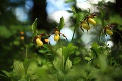 calceolus杓兰花鹿皮鞋工厂木材 这朵兰花在大约100个现场的捷克被找到 图库摄影