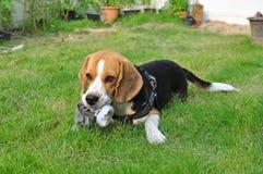 Calcetines de la mordedura del perrito del beagle Imagen de archivo