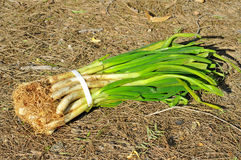 Calcots, catalan sweet onions Stock Photo