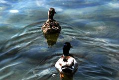 Caldé. Lake Maggiore Lombardia lake city summer country  colors duck Royalty Free Stock Image