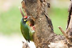 Caldeireiro Barbet Bird Imagem de Stock Royalty Free