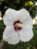 Blanco flor poco rosita Royalty Free Stock Photos