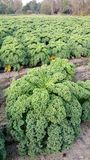 Cale grön kål på fält Royaltyfria Bilder