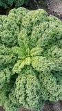 Cale grön kål på fält Arkivbild