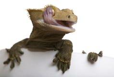 caledonian crested лизать gecko глаза новый Стоковые Фотографии RF