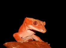 caledonian crested gecko новый Стоковое Изображение