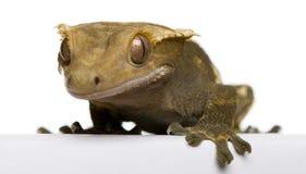 caledonian crested gecko новый Стоковое Изображение RF
