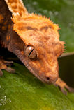caledonian crested gecko новый Стоковые Изображения RF