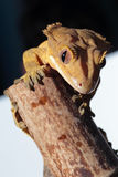Caledonian crested gecko on a bamboo cane Stock Photo