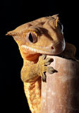 Caledonian crested gecko on a bamboo cane Royalty Free Stock Photography