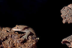 Caledonian crested gecko jumping Stock Images