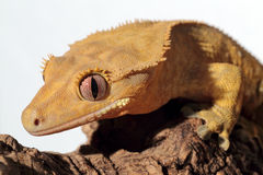 Caledonian crested gecko on white background Royalty Free Stock Image