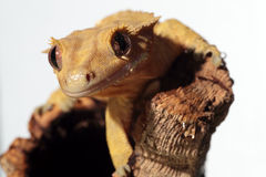 Caledonian crested gecko on white background Stock Photo