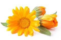 Caledula flowers. royalty free stock photos