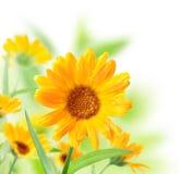 Caledula flowers. Stock Photography