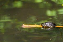 Calefacción de la tortuga de la charca en The Sun en el palillo de madera en el lago foto de archivo libre de regalías