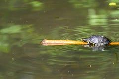 Calefacción de la tortuga de la charca en The Sun en el palillo de madera en el lago fotos de archivo libres de regalías