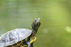 Calefacción de la tortuga de la charca en The Sun en roca en agua imagen de archivo libre de regalías