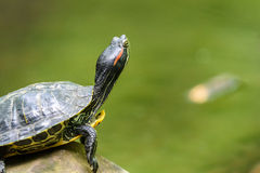 Calefacción de la tortuga de la charca en The Sun en roca en agua fotos de archivo libres de regalías