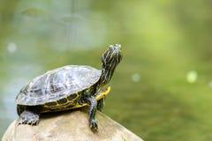 Calefacción de la tortuga de la charca en The Sun en roca en agua foto de archivo libre de regalías