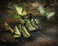 Caleidoscopio de Swallowtail Fotografía de archivo