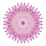 Caleidoscopio rosado de la flor de Strawflower aislado en blanco imágenes de archivo libres de regalías