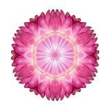 Caleidoscopio rosado de la flor de Strawflower aislado en blanco fotografía de archivo libre de regalías
