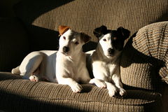 Calendário Jack Russell Terrier Dog Couple pronto imagens de stock royalty free