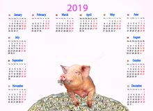 Calendar for 2019 with amusing pig on heap of dollars. Copyspace. Calendar for 2019 with amusing pig on heap of dollars. Pig symbol of next year. Domestic animal stock photography
