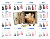 Calendar for 2019 with amusing pig in middle. Pig symbol of next year. Domestic animal. Farm animal in center of calendar. Calendar for office and home using royalty free stock photos