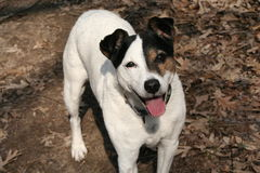 Calendar Poster Dog Jack Russell Terrier Fall Royalty Free Stock Photos