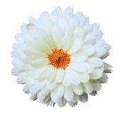 Calendula белого цветка Предпосылка изолированная белизной с путем клиппирования Стоковое фото RF