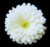 Calendula белого цветка предпосылка изолированная чернотой с путем клиппирования Стоковые Изображения