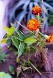 Calendula, общие ноготки, цветок ноготков бака красивый стоковая фотография
