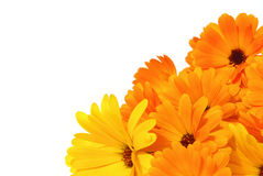 Calendula 02 Royalty Free Stock Photo