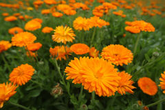 Calendula. Field with a medicinal calendula Royalty Free Stock Photo