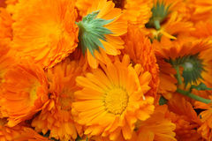 Calendula. Field with a medicinal calendula Stock Photos