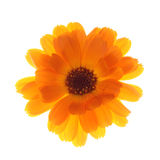 Calendula Stock Photography