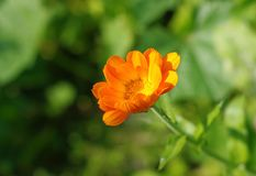 Calendula photographie stock