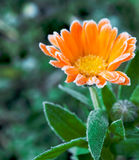 Calendula Royalty Free Stock Photography