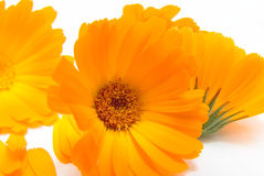 The calendula Royalty Free Stock Photography