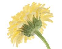 Calendula stock afbeelding